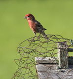 Finch on chicken wire. Finch sitting on chicken wire royalty free stock photos
