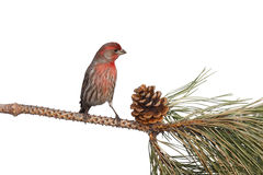 Finch contemplates dinner. Finch contemplates eating an appetizing pine cone; white background Stock Photos