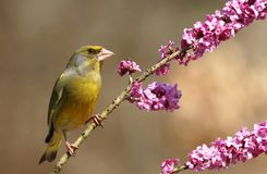 Finch on daphne Stock Images