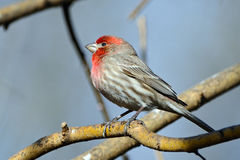 finch dom Obrazy Royalty Free