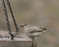 Finch eating at feeder Royalty Free Stock Images