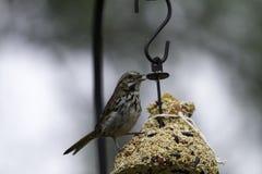 Finch Eating Seeds royalty-vrije stock afbeeldingen
