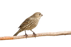Finch eats a safflower seed. Profile of female purple finch peering out owhile sitting on a branch; white background stock images