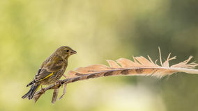 Finch feather stand Stock Image
