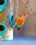 Finch on feeder. Red finch on a back yard birdfeeder Stock Photo