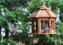 Finch in flight to feeder. Stock Images