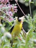 Finch in the flowers. Goldfinch perched among flowers at local wetland Stock Photography