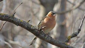 Finch (Fringilla coelebs) obsiadanie na gałąź zdjęcia stock
