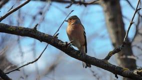 Finch (Fringilla coelebs) obsiadanie na gałąź obrazy royalty free