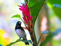 Finch (Fringillidae) ptak obraz stock