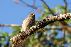 Finch, Galapagos Royalty Free Stock Photo