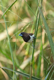 Finch in glasslands. A high resolution image of an Indian Finch in grasslands Royalty Free Stock Image