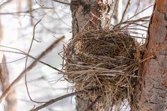 Finch gniazdeczko w zimie na sośnie zdjęcia royalty free