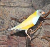 Finch Gould ` s ή τα finch ουράνιων τόξων gouldiae Erythrura στοκ φωτογραφία με δικαίωμα ελεύθερης χρήσης