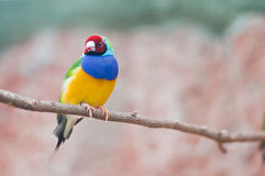 finch gouldian obrazy stock