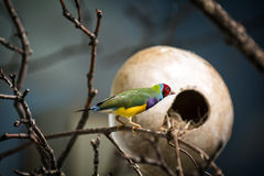 finch gouldian obraz royalty free