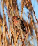Finch gubjący w płochach zdjęcia royalty free
