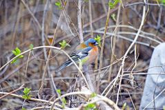 Finch jest ptakiem śpiewającym finch zięby rodzina Fotografia brać w Rosja siberia zdjęcia royalty free