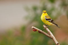 finch kolor żółty Fotografia Royalty Free
