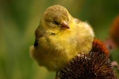finch kolor żółty zdjęcia royalty free