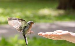 Finch latał ręka zdjęcie royalty free