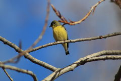 Finch. Lesser Gold Finch sitting on a branch Royalty Free Stock Photography