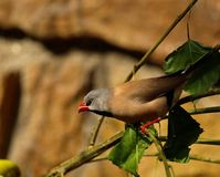finch long tailed Royaltyfria Foton