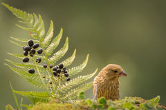 Finch look Royalty Free Stock Photo