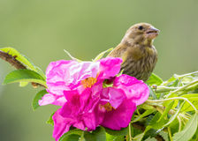 Finch loves roses Stock Photography