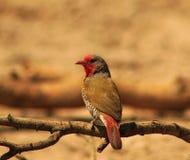 Finch Melba - δόξα ηλιοβασιλέματος στοκ εικόνες