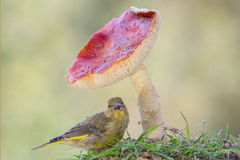 Finch and mushroom Royalty Free Stock Image