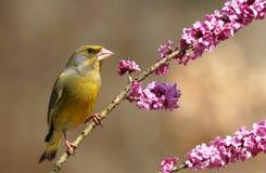 Finch na daphne obrazy stock