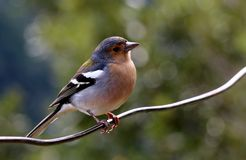 Finch Royalty Free Stock Image
