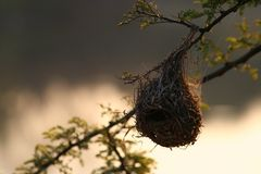 Finch nest. Nature royalty free stock photography