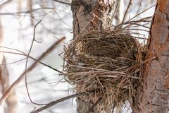 Finch nest in winter on pine royalty free stock photos