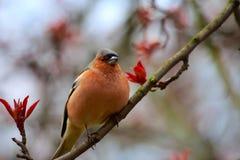 Finch obsiadanie na gałąź jabłko zdjęcia royalty free