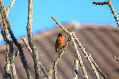 Finch on Ocotillo Stock Image