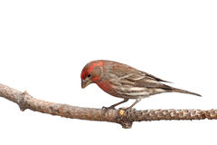 Finch peers downward. In a search for food; white background stock photo