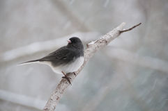 Finch perched on branch in snow Stock Photography