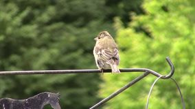 Finch perched and hopping on a metal rail. stock footage
