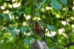 Finch posing. Chaffinch, bird, birds, birdphoto, birdphotography, littlebird, peippo, peipponen, pose, woods, forest, nsture, nature, naturephotography royalty free stock image