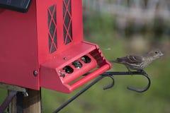 Finch przy czerwonym ptasim dozownikiem zdjęcia royalty free
