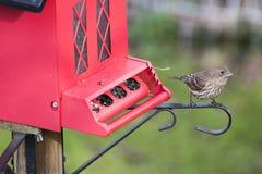 Finch przy czerwonym ptasim dozownikiem obraz stock