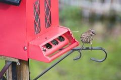 Finch przy czerwonym ptasim dozownikiem obrazy royalty free