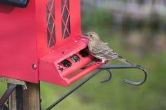 Finch przy czerwonym ptasim dozownikiem fotografia stock