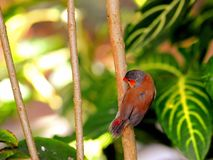 Finch ptak fotografia royalty free