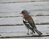 Finch ptak fotografia stock