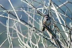 Finch, ptak, Kalifornia fotografia royalty free
