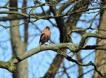 Finch ptak, Lithuania zdjęcia royalty free