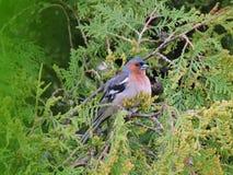 Finch ptak, Lithuania fotografia stock